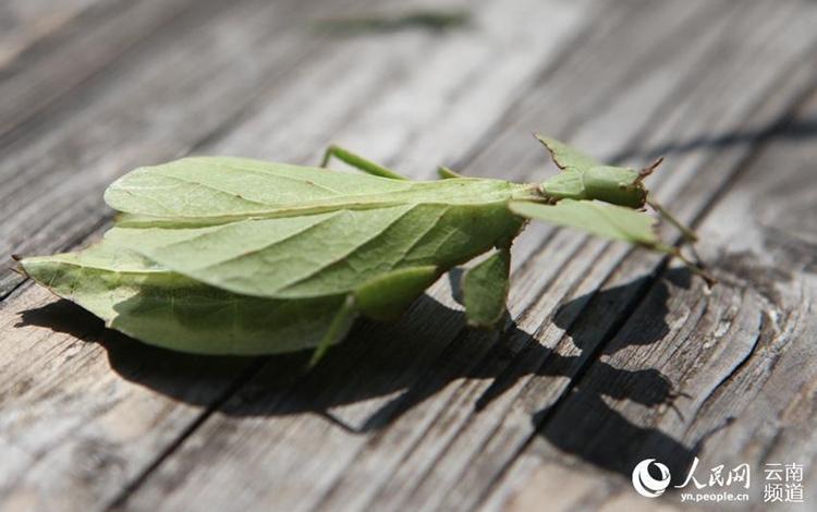 희귀한 대벌레 중국 운남서 발견, '걸어 다니는 나뭇잎'