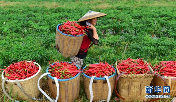 가을의 2번째 절기 '처서' 맞아 중국 각지 농가 '푸짐한 수확'