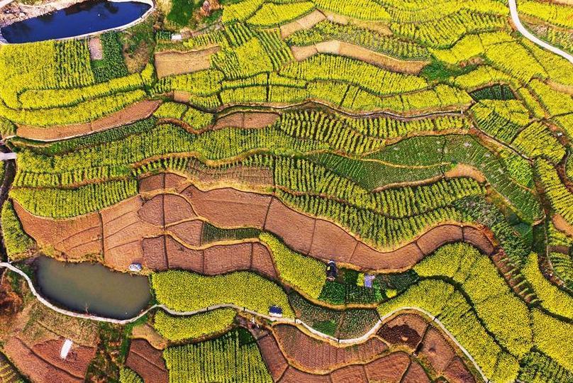 충칭 윈양: 유채꽃 향기에 물든 봄