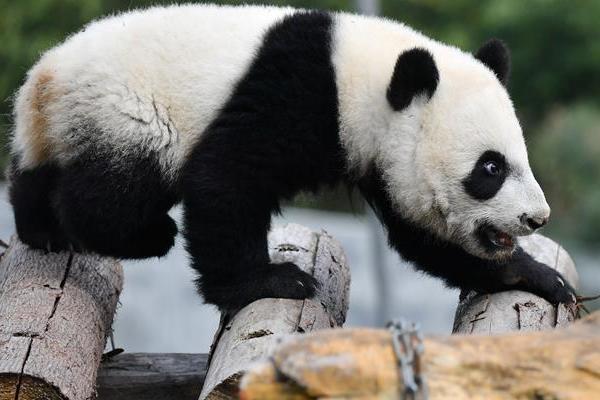熊猫1.jpg
